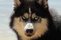 En Sibirien husky