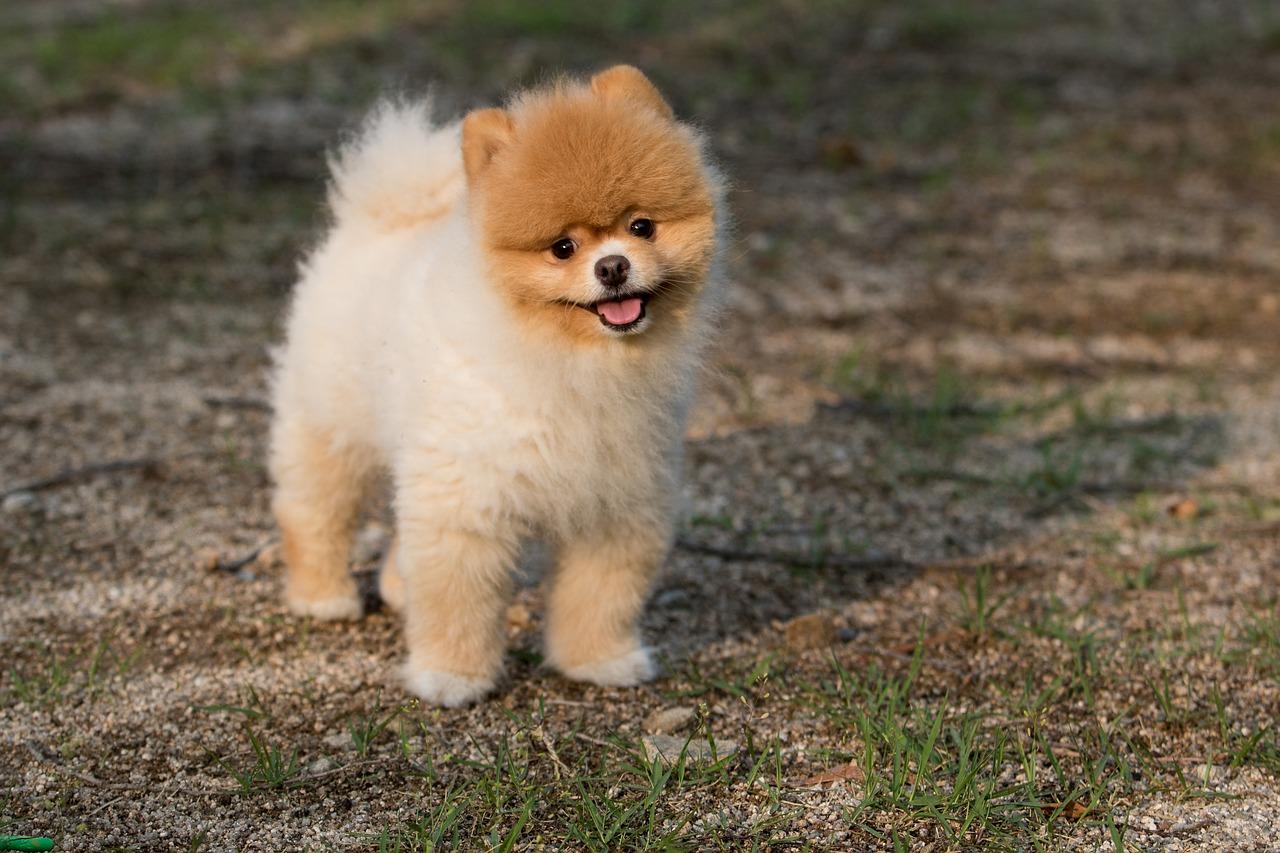 En fluffig liten hund