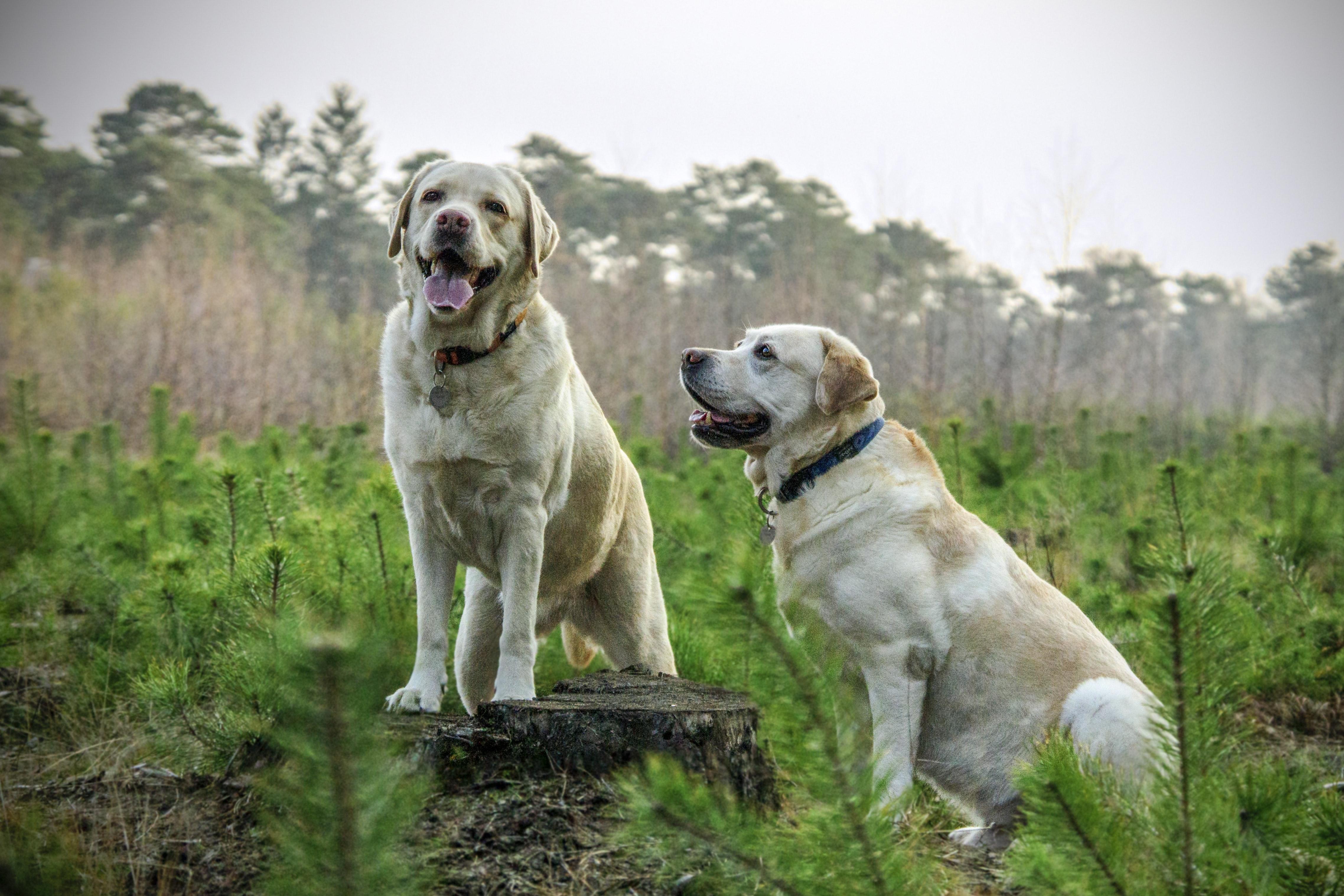 Två hundar i skogen